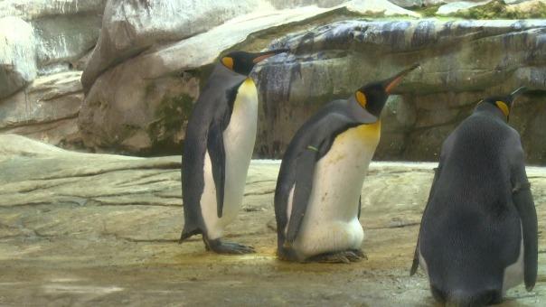 Las parejas del mismo sexo entre pingüinos no es nada nuevo. El comportamiento homosexual en animales de varias especies se produce tanto en zoológicos como en la naturaleza.