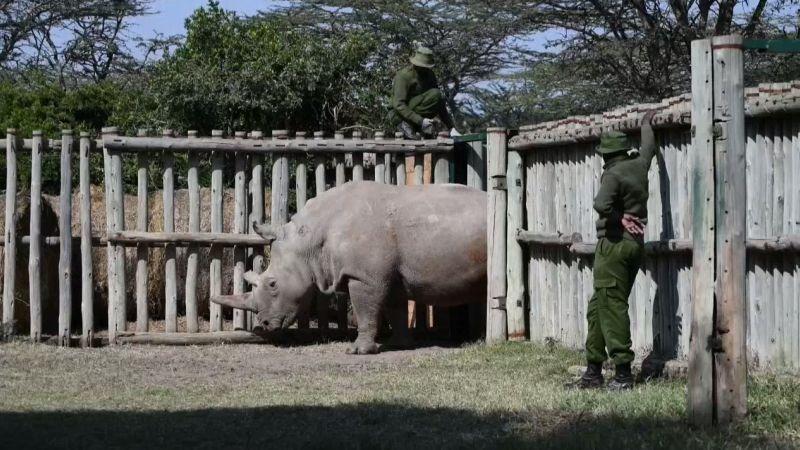 Los científicos buscan salvar a los rinocerontes blancos del norte.
