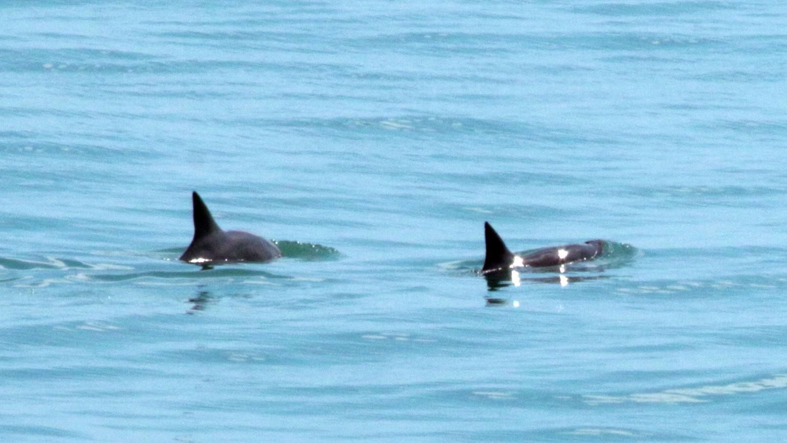 La organización ambientalista Sea Sheperd grabó un video que muestra especímenes de la vaquita marina, la marsopa más pequeña del mundo.