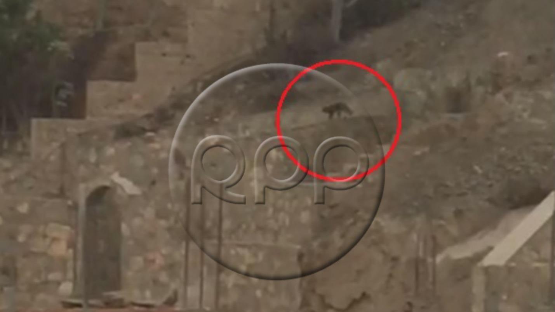 Avistamiento de puma en La Molina