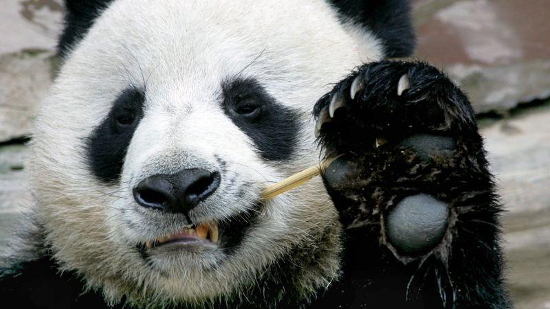 Los pandas se han convertido en un símbolo y un reclamo turístico en Tailandia.