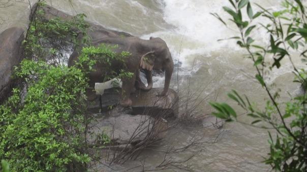 Dos de los elefantes quedaron varados al intentar rescatar a otro de ellos.