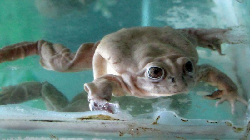 Estas especies fueron criadas en cautiverio en el Parque Zoológico Huachipa.
