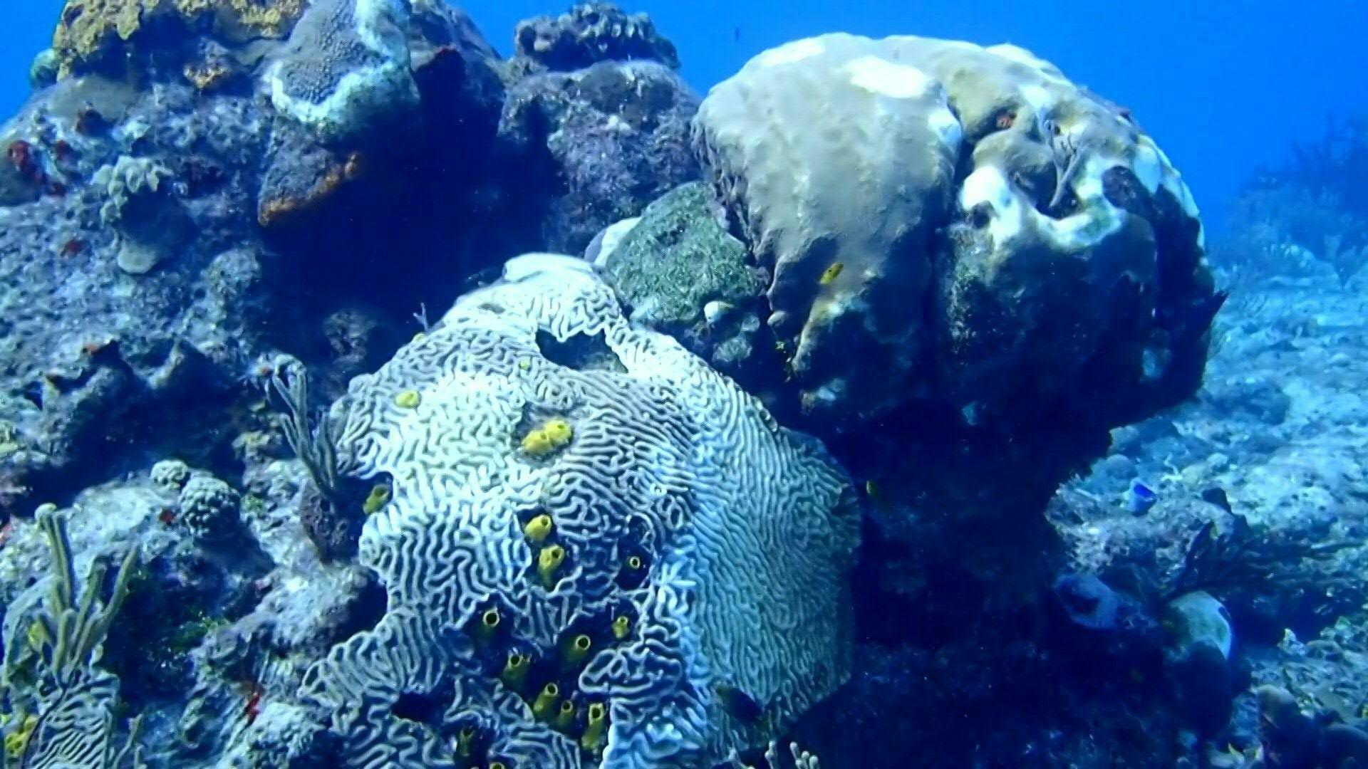 Los arrecifes del Caribe mexicano han perdido más del 30% de su cobertura de coral debido a esta enfermedad bautizada como