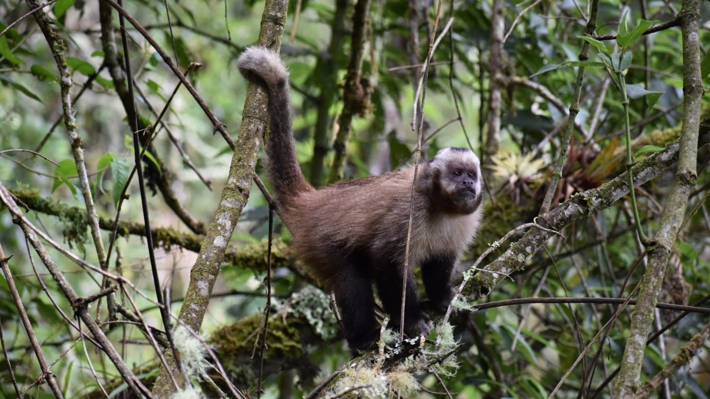 Mono machín negro en Machu Picchu