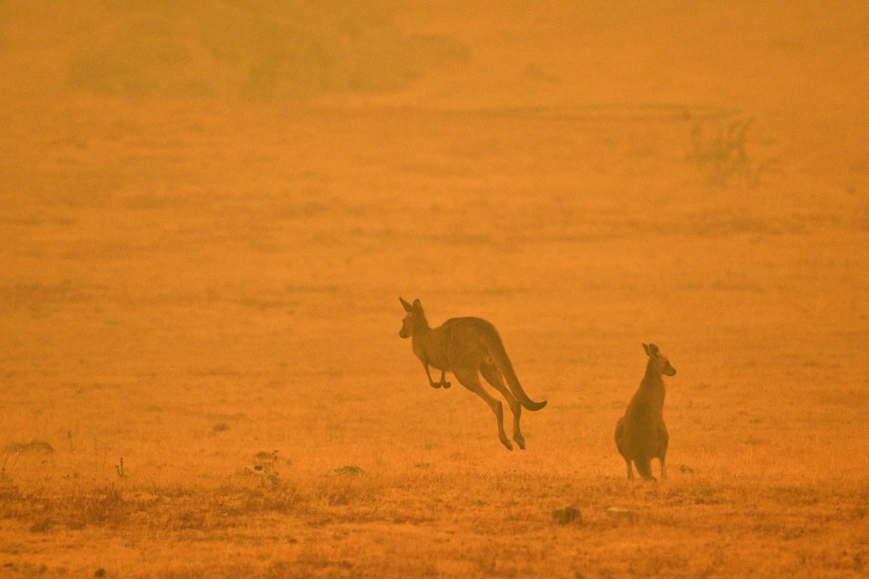 Los incendios forestales también fueron mortíferos para la vida silvestre y destruyeron casi todo el parque nacional de Flinders Chase, en Kangaroo Island, que alberga canguros y koalas