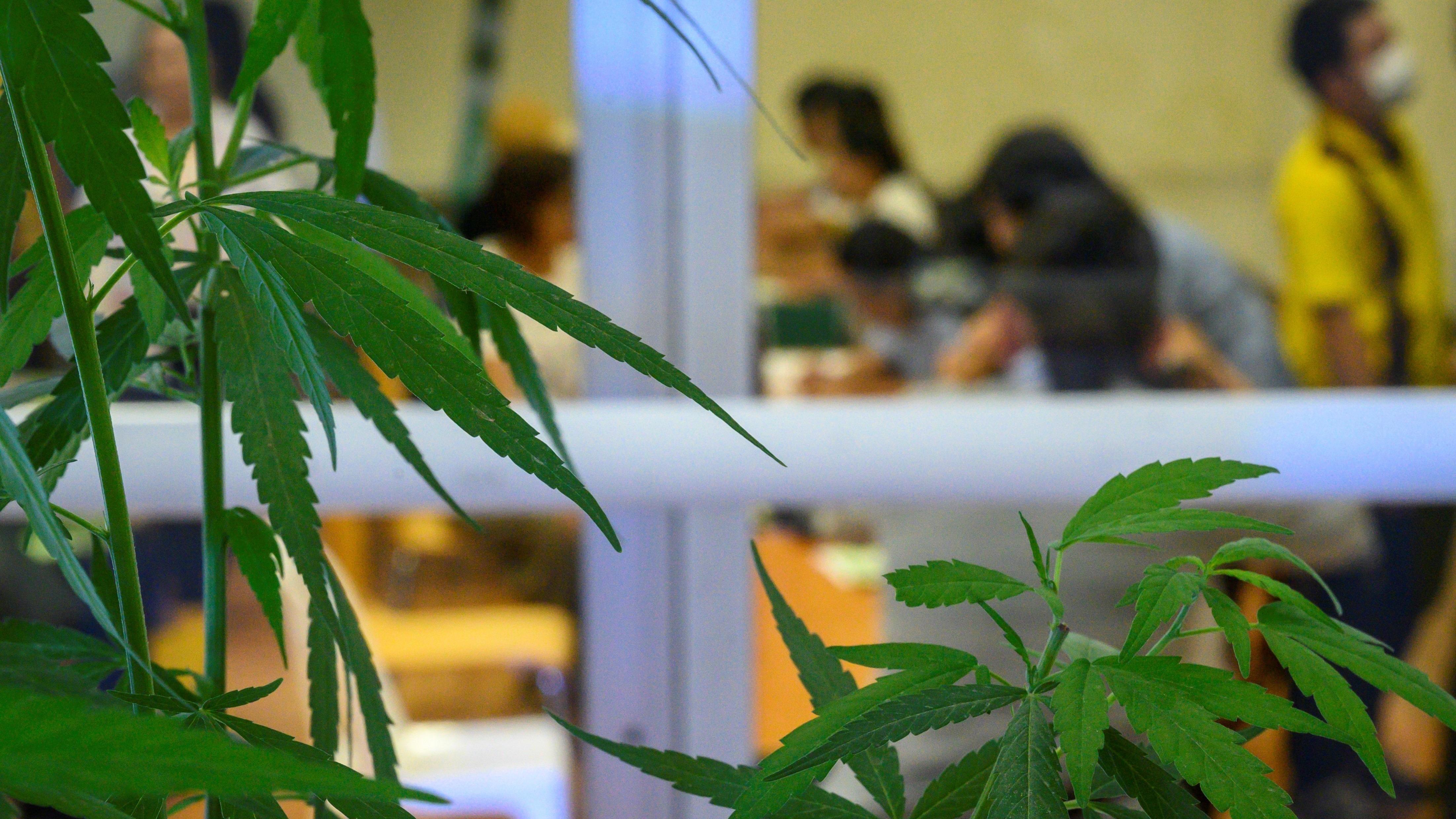 Tailandia es el primer país de Asia en lanzarse en un mercado de cannabis dominado por Canadá, Australia e Israel.