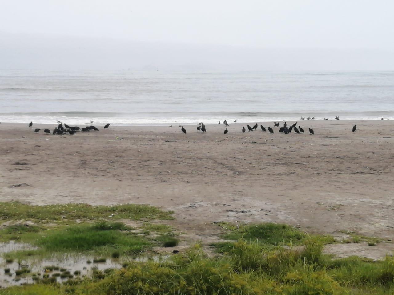 Sin embargo, distintas especies de aves han retomado las playas de la Costa Verde que antes eran utilizadas por los bañistas.