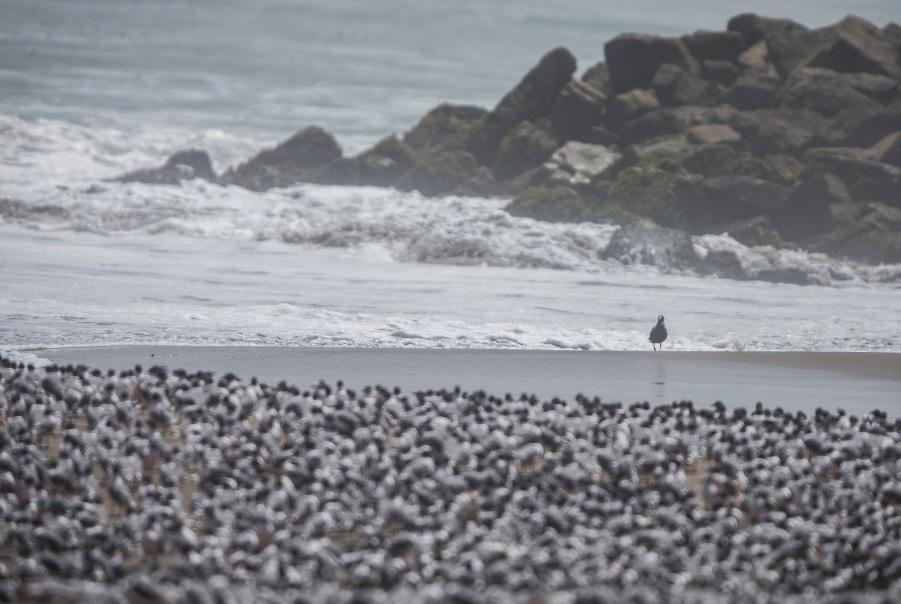 Laministra del Ambiente, Fabiola Muñoz, destacó el regreso de aves a las playas de la Costa Verde e invocó acuidarel medioambiente.