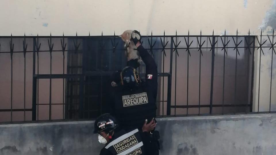 El felino fue desinfectado por paramédicos de Seguridad Ciudadana para luego ser liberado.