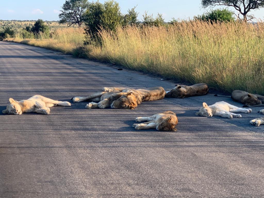 Los leones descansaron a 65 kilómetros de su hábitat natural.