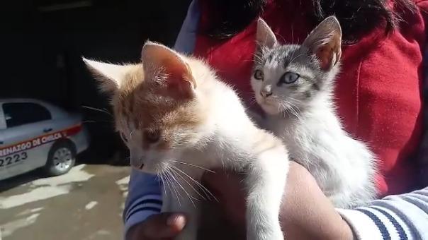 Más de 15 gatos y 50 perros fueron rescatados por el personal de Serenazgo del distrito de Chilca.