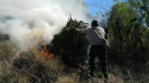 Los plantones de marihuana fueron incinerados por la Policía Nacional.