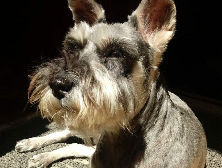 Mientras no hayan presentado problemas de ansiedad antes de la cuarentena, los perros adultos podrán volver a adaptarse a la rutina.