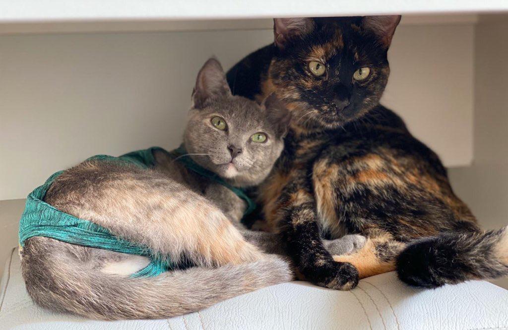 Los gatos se adaptarán más rápido en el regreso a la rutina tradicional, después del confinamiento social.