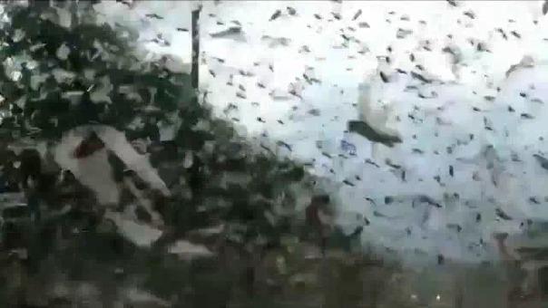Imágenes de la plaga de langostas en Argentina