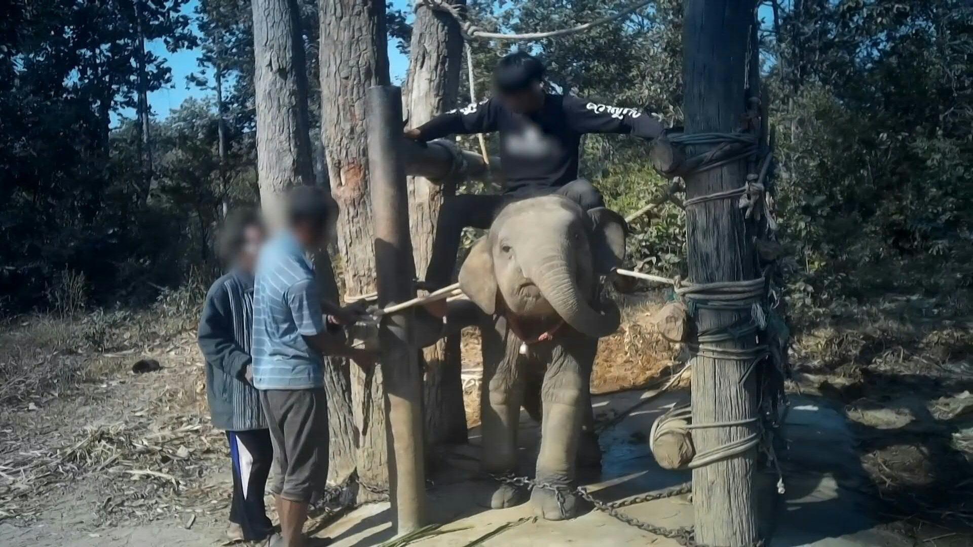 Transportar turistas sobre el lomo, bañarse con ellos, dar vueltas como en un circo: unos 3.000 elefantes son utilizados en el sector turístico de Tailandia.