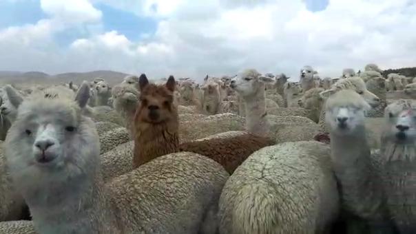 El kilo de la carne de alpaca, en esta época de venta, ha caído hasta en ocho soles en los diferentes mercados de la Región del Lago.