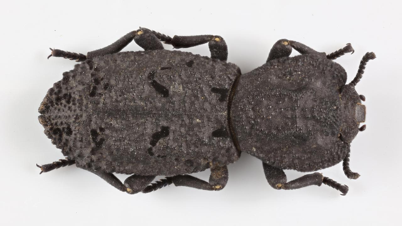 El escarabajo diabólico acorazado pudo sobrevivir a este experimento.