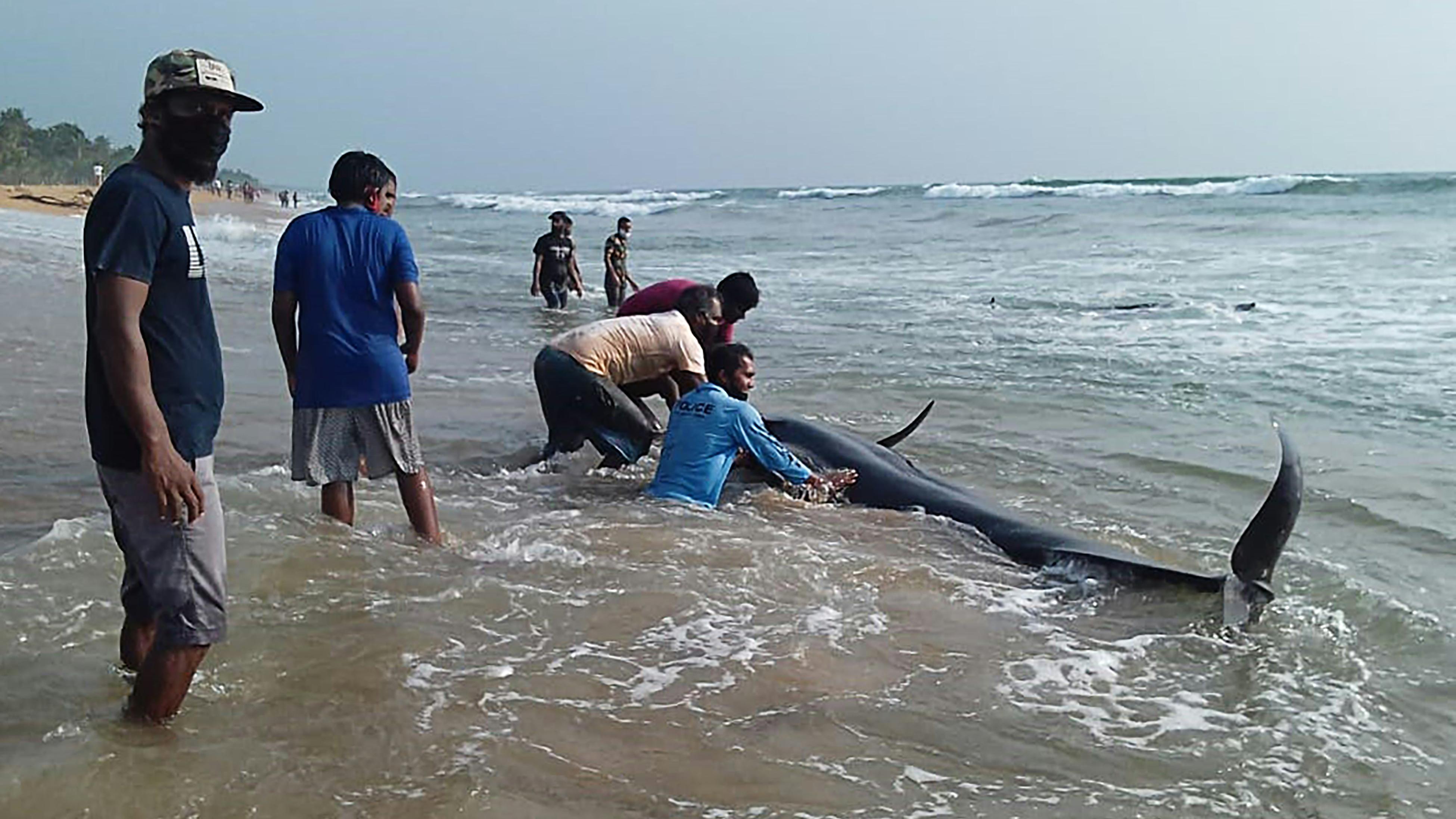 El grupo de mamíferos marinos encalló en la playa de Panadura, en la costa occidental de Sri Lanka y a unos treinta kilómetros al sur de Colombo.