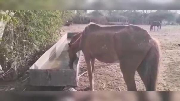 Animales se encuentran desnutridos pese a los intentos de los pobladores por alimentarlos.