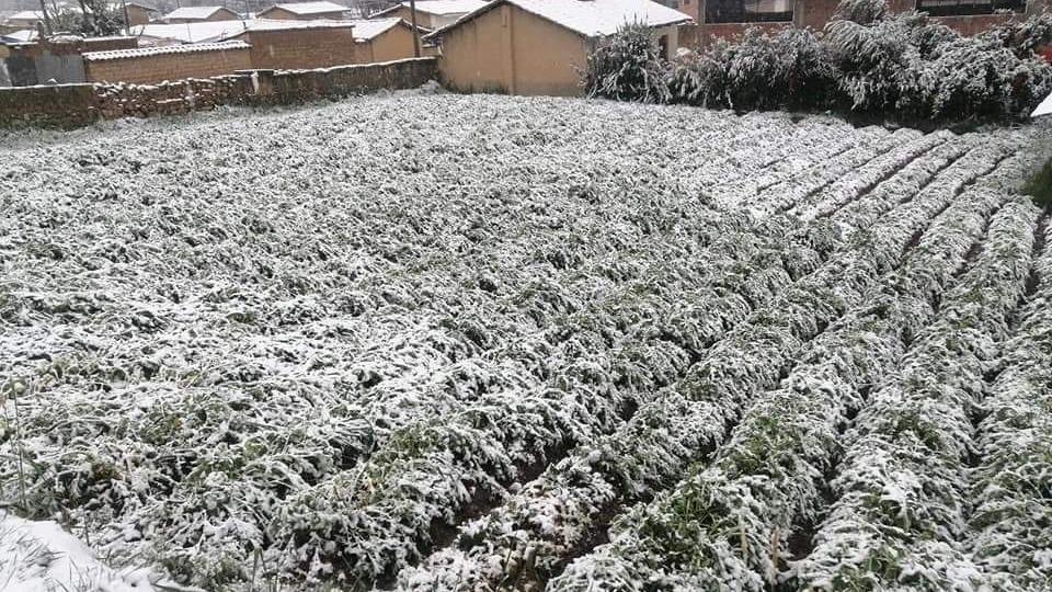 En la provincia de Quispicanchi, una intensa nevada afectó decenas de áreas de cultivo.