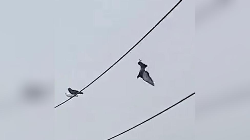 Así fue como se produjo el rescate de la paloma que se quedó enredada en un cable de luz de alta tensión en Barranca.